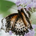 The Ins and Outs of Butterfly Gardening